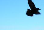 flying-raven-1468698